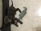 Labrador Retriever Puppy For Sale in PALM BAY, FL, USA