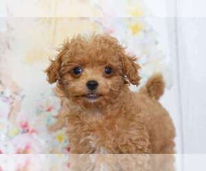 Cavapoo Puppy for sale in BEL AIR, MD, USA