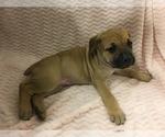 Puppy 12 Cane Corso