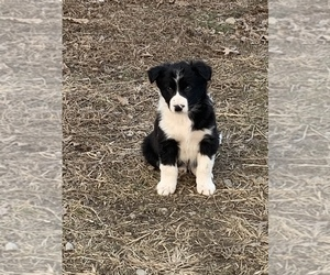Australian Cattle Dog-Border Collie Mix Puppy for sale in ODIN, IL, USA