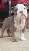 Olde English Bulldogge Puppy For Sale in BROWNS MILLS, NJ