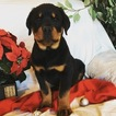 Rottweiler Puppy For Sale in MOHNTON, PA, USA