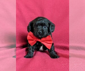 Wapoo Puppy for sale in NOTTINGHAM, PA, USA
