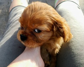 Cavalier King Charles Spaniel Puppy For Sale in CHRISTMAS, FL, USA