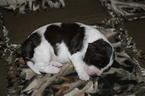 English Springer Spaniel Puppy For Sale in RIO RANCHO, NM,