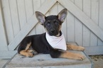 German Shepherd Dog Puppy For Sale near 19344, Honey Brook, PA, USA