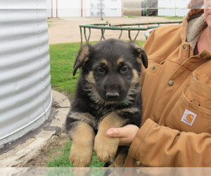 German Shepherd Dog Puppy for sale in COLUMBUS, NE, USA