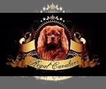 Small #1 Cavalier King Charles Spaniel