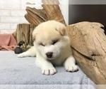 Small #4 Shiba Inu