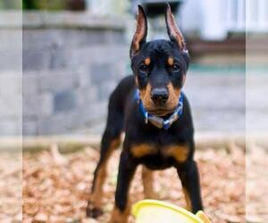 Doberman Pinscher Puppy for sale in Quezon City, Metro Manila, Philippines