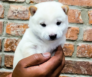 Shiba Inu Puppy for Sale in JERSEY CITY, New Jersey USA