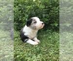 Puppy 6 Border-Aussie