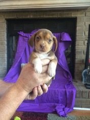 Beagle Puppy For Sale in TAYLORSVILLE, KY