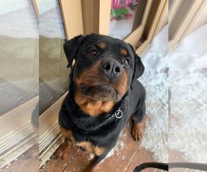 Rottweiler Puppy for sale in OMAHA, NE, USA