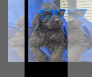 Labradoodle Puppy for Sale in SOUTH SHORE, Kentucky USA