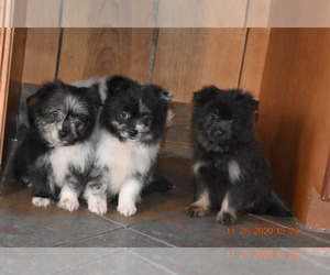 Pom-Shi Puppy for Sale in DINWIDDIE, Virginia USA