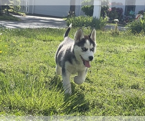 Siberian Husky Puppy for sale in PORTSMOUTH, VA, USA