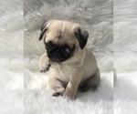 Small #8 Pug