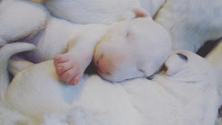 Bull Terrier Puppy For Sale in RICHLAND, MI
