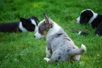 Cardigan Welsh Corgi Puppy For Sale in TROUT RUN, PA, USA