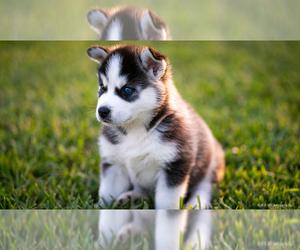 Siberian Husky Puppy for sale in GODWIN, NC, USA