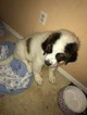 Saint Bernard Puppy For Sale in WOODBRIDGE, VA