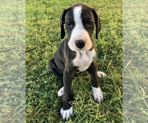 Great Dane Puppy for Sale in CONNELLSVILLE, Pennsylvania USA