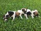 6 week old Jack Russell Terriers
