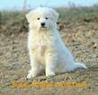 Great Pyrenees Puppy For Sale in BEVERLY, OH, USA