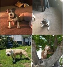 American Pit Bull Terrier Puppy For Sale in SACRAMENTO, CA