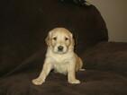 Golden Retriever Puppy For Sale in BREMERTON, WA, USA