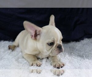French Bulldog Puppy for Sale in QUEENS, New York USA
