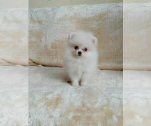 Pomeranian Puppy for sale in BROOKLYN, NY, USA