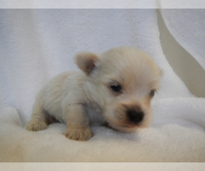 Maltipoo Puppy for Sale in CENTRAL POINT, Oregon USA