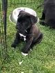 American Pit Bull Terrier-Labrador Retriever Mix Puppy For Sale in ESCALON, CA, USA