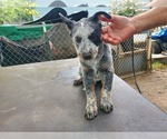 Puppy 5 Australian Cattle Dog