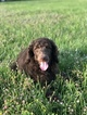 Poodle (Standard) Puppy For Sale in HOUSTON, Texas,