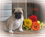 Small Photo #1 Pug Puppy For Sale in VICTORIA, VA, USA