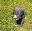 Great Dane Puppy For Sale in BRUNSWICK, Georgia,