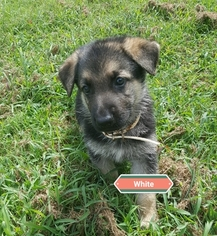 German Shepherd Dog Puppy For Sale in MILLEDGEVILLE, GA