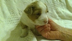 Aussie-Corgi Puppy For Sale in HOPKINTON, IA, USA