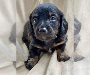 Dachshund Puppy for sale in LITCHFIELD, ME, USA