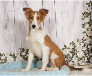 Shetland Sheepdog Dog for Adoption in PENNS CREEK, Pennsylvania USA