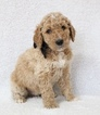 Goldendoodle Puppy For Sale in CHERRY CREEK, NY, USA