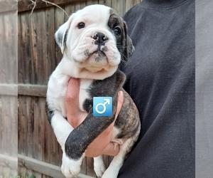 Olde English Bulldogge Puppy for Sale in DENVER, Colorado USA