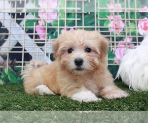 Havanese Puppy for sale in MARIETTA, GA, USA