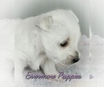 Puppy 1 West Highland White Terrier