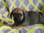 Puggle Puppy For Sale in KENSINGTON, OH, USA