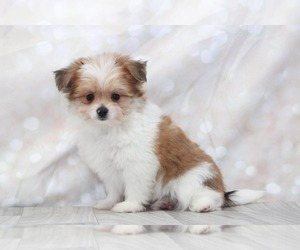 Yoranian Puppy for sale in MARIETTA, GA, USA