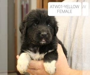 Great Pyrenees-Newfoundland Mix Dog for Adoption in BERESFORD, South Dakota USA